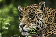 Jaguar Close Up Face Shot