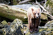 Grizzly bear cub in Alaska
