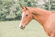Cheshunt Arab Mare