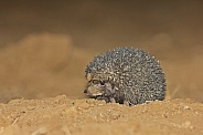 Long Eared Hedgehog looking for insects in farmland