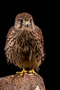 European Kestrel Portrait Full Body Black Background