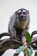 Three-striped night monkey