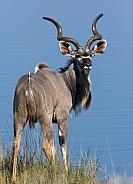 Mature male Kudu - Namibia