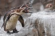 Two Humboldt Penguins Calling Beaks Open