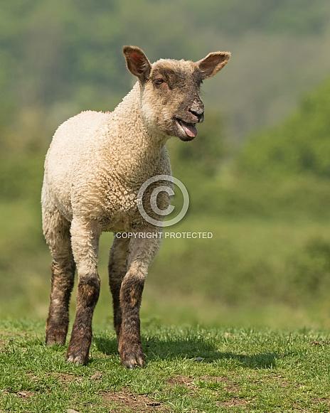 Posing Lamb Bleating
