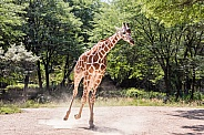 Galloping Giraffe