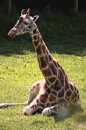 Female Giraffe Lying in the Sunshine