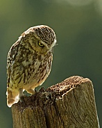 Little Owl Perching