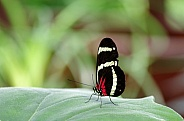 Common longwing butterfly