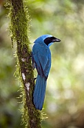 Turquoise Jay - Mindo Cloud Forest - Ecuador