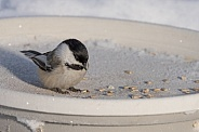 Black-capped Chickadee at the Feeder