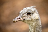 A common Ostrich (Struthio camelus)