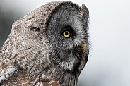 Great Grey Owl Headshot Side Profile