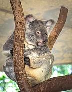 Koalla resting in a forked branch - Queenland Australia