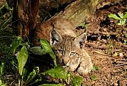 Eurasian Lynx Cub