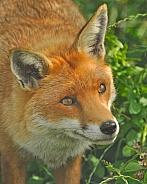 fox, headshot