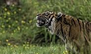 Sumatran Tiger Looking Upwards