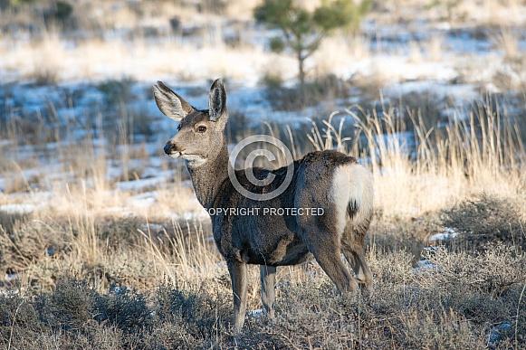 Wild mule deer in Utah