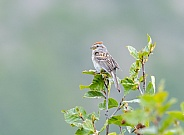 American Tree Sparrow Perching in a Tree