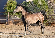 Dapple gray Arabian horse in the arena