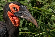 Southern Ground Hornbill Close Up