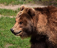 Female Kamtschatka Bear