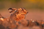Brown Hare at Sunset