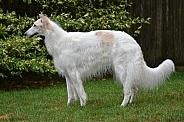 Borzoi Russian Wolfhound