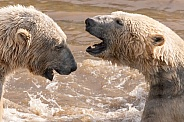 Close Up Of Two Polar Bears