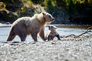Grizzly Bear at Alaska and one cub