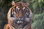 Sumatran Tiger Face Shot Close Up