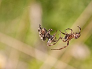 Orb weaver male and female. Spiders