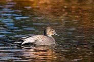 Gadwall: Golden Hour