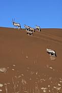 Gemsbok antelope (Oryx) - Namibia