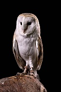 Barn Owl Full Body Portrait Black Background