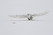 Snowy Owl Hunting a Rodent