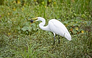 Great egret trying to eat a turtle