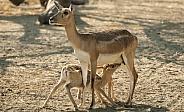 Indian Gazelle (Chunkara)