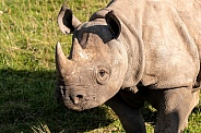 Black Rhino Close Up