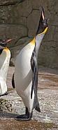 King Emperor Penguin