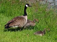 Canada Goose & Juvenile Goslings