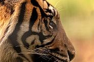 Sumatran Tiger Eye Side Profile Close Up