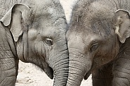 Two baby elephants (Elephas maximus)