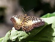 Clipperbutterfly