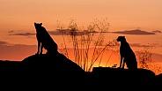 Cheetahs Silhouette