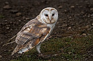 Barn Owl On The Ground Full Body