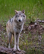 Gray Wolf Standing for a Portrait