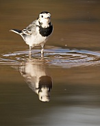 Reflected Pied Wagtail