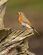 European Robin on Log