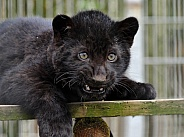 Black Jaguar Cub
